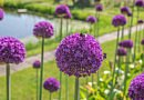 Alles over Allium