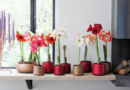 Amaryllis | Op de bloemenagenda in december